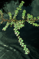 Phyllanthus sp., Euphorbiaceae, floating aquatic plant in open channel in swamp forest called Mata de Igapo, Amazonas, Brazil.