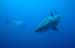 GREAT WHITE SHARKS, Guadalupe Island