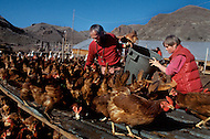 Wasco, Oregon, February 1984: Disciples of Bhagwan Rajneesh, working in the poultry farm. The residents of Rajneeshpuram raised the chicken for eggs and grew their own vegetables. Rajneeshpuram, was an intentional community in Wasco County, Oregon, briefly incorporated as a city in the 1980s, which was populated with followers of the spiritual teacher Osho, then known as Bhagwan Shree Rajneesh. The community was developed by turning a ranch from an empty rural property into a city complete with typical urban infrastructure, with population of about 7000 followers.