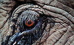 A close look at the eye of an Asian elephant (elephas maximus)in Laos.