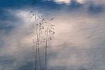 Grass on Abraham Lake, Alberta - Canada