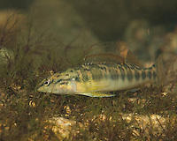 Bronze Darter<br /> <br /> Bryce Gibson/Engbretson Underwater Photography