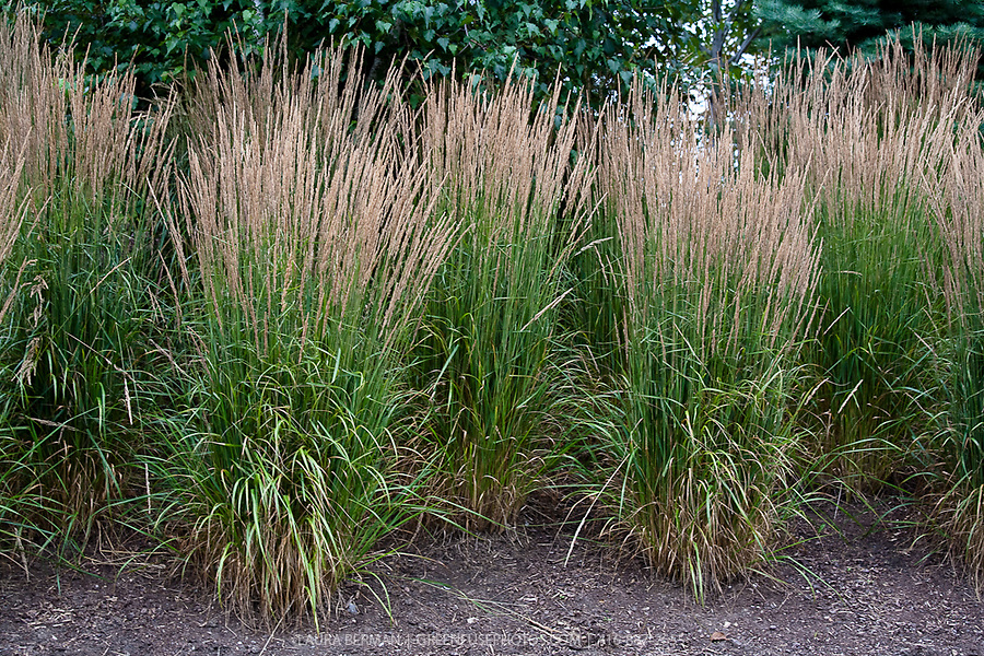 Perennial Grasses For Alberta : Feather reed grass greenfuse photos garden farm food