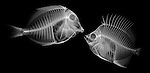X-ray image of a fish encounter (white on black) by Jim Wehtje, specialist in x-ray art and design images.