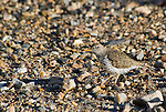 Spotted sandpiper, Actitis macularia. Oasis Valley, Nevada