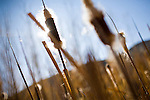 Native cattails line the Truckee River through the McCarran Ranch, where the Truckee River was restored to its original course in 2006.