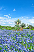 Bluebonnets and cactus what says Texas Hill Country more.  We came across this blooming yucca with a field of bluebonnets and it said photograph me so I did.  I had to hike a little ways off the road through a lot of prickly pear and other stickie thing to get to them but it was worth it.