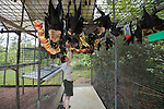 Wildlife carer volunteer Esther Redhouse-White hanging apples in the cage. Feeding time at the Tolga Bat Hospital aviary where the fruitbats or flying foxes are fed different fruits from bananas, apples, watermelon to milk and water. Spectacled flying fox (Pteropus conspicillatus