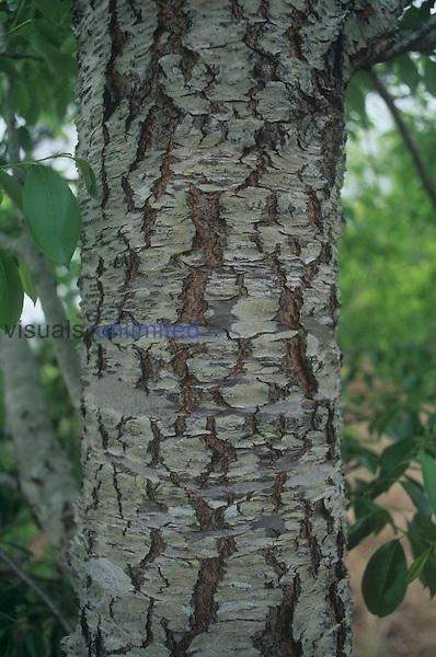 Black Cherry bark (Prunus serotina), North America.