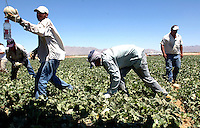 AJ Alexander - Farm workers picking cantalope. In Wenden, Arizona, west of Wickenburg..Photo by AJ Alexander