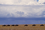 Wildebeest and gazelle herds grazing, Serengeti National Park, Tanzania
