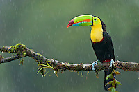 Wild Keel-billed Toucan (Ramphastos sulfuratus), also known as Sulfur-breasted Toucan or Rainbow-billed Toucan in the rain.  Found from southern Mexico south through Central America into northern South America.  This photo was taken in the rain in Costa Rica's lowland, tropical rainforest.