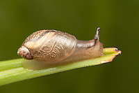 Oval Ambersnail (Novisuccinea ovalis), Ward Pound Ridge Reservation, Cross River, Westchester County, New York