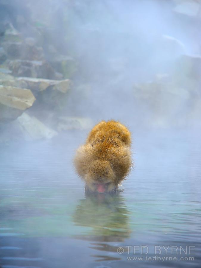 Japanese Macaque (Snow Monkey) drinking from the hot spring at the Jigokudani Park near Nagano, Japan