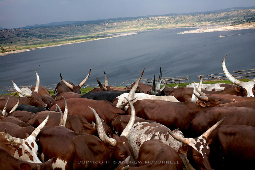 Acholi cattle are herded home for the evening after grazing around Lake Katwe, Uganda.