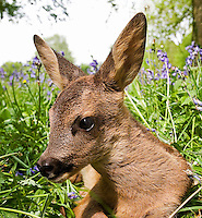 Roe Deer fawn head (Capreolus capreolus), Normandy, France