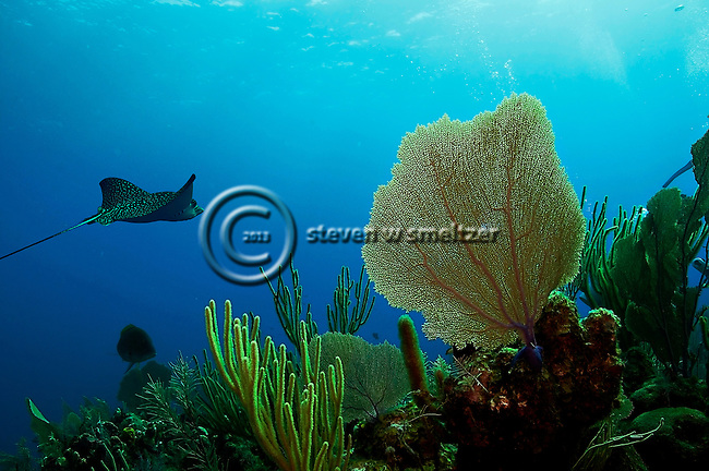 Gorgonian fan and spotted eagle ray grand cayman