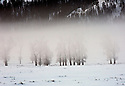 WY00460-00...WYOMING - Trees and fog in the Larmar Valley of Yellowstone National; Park