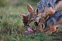 Black-backed Jackal female regurgitating food for her pups (Canis mesomelas), Maasai Mara National Reserve, Kenya.