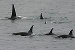 Pod or orcas