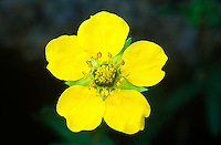 114950001 a wild common cinquefoil wildflower potentilla gracilis with brilliant yellow flower blooms in little lakes valley eastern sierras california united states