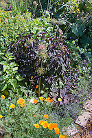 Purple foliage Persicaria and Sedum with allium, orange papaver nudicale poppies, Maclayea bold foliage at rear in cottage garden rambling lush style plantings