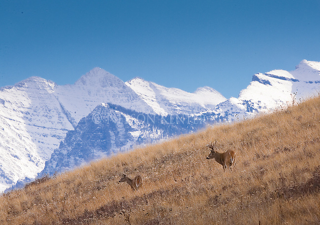 Whitetail buck and doe and the Mission Mountains in western Montana