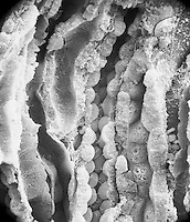 "Kidney medulla section showing the collecting ducts and the thick descending and thick ascending portions of the loop of Henle.  SEM X875,  3.5"" X 4.5""  **On Page Credit Required**"
