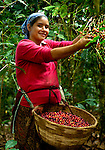 Coffee picker on a coffee farm on the slopes of the Santa Ana Volcano in western El Salvador.