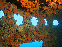 Wheelhouse of an artificial reef encrusted with Red Cup Coral.