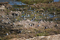 A closer look at the San Francisco Bay shoreline reveals at least 50 shorebirds, mostly sanderlings, at Elsie Roemer Bird Sanctuary in Alameda, California.