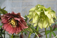 Helleborus hybridus Gunther Jurgl (pink), &amp; Helleborus hybridus Snow Queen frilly double flowered types, 2 different colors mix of red pink and yellow cream