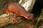 Rough-skinned newt in Pacific Northwest