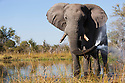 Botswana, Okavango Delta, Moremi Game Reserve, African elephant bull (Loxodonta africana) spraying water from trunk