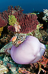 Pink Anemonefish (Amphiprion perideraion) in their balled up anemone in the reef.