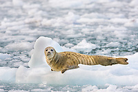 Harbor seal hauled out on floating ice bergs, Harriman Fjord, Prince William Sound, southcentral, Alaska.