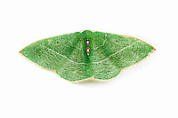 Columbian Emerald or Darwin's Green Moth (Nemoria darwiniata), California, USA