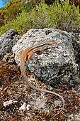 Large Psammodromus Lizard (Psammodromus algirus), Portugal.