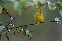 •The Wilson's Warbler trends toward brighter, richer coloration from the eastern part of the range to the west. The Pacific coast populations have the brightest yellow, even orangish, foreheads and faces. Western-central and Alaskan birds are slightly larger than the eastern and Pacific coast populations.