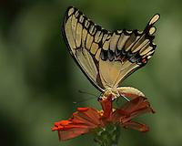Giant Texas swallowtail as it seems to be 'peeking' around petals edge at me..