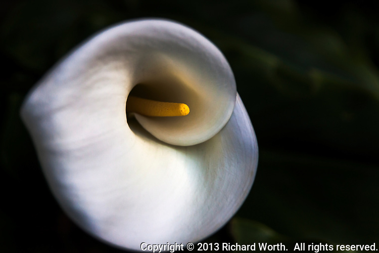 """Softly.  An early Calla lily blooms in """"The Yard"""", late on a chilly February afternoon."""