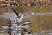 Canada Goose (Branta canadensis) A dominant male chase of two other geese on the Ribble river away from the female beginning of spring. Originally introduced to Britain in St James Park, London in the mid 17th century,