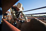 Bull rider getting his grip on his mount in the bucking chute. Mt Garnet Rodeo, Mt Garnet Queensland, Australia