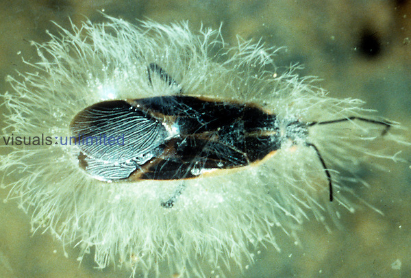 Water mold on insect (Saprolegnia) LM X10.
