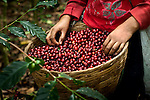 Coffee picker's basket full of coffee cherries on a coffee farm on the slopes of the Santa Ana Volcano in western El Salvador.  (Model & Property Released)