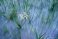 Swamp Grass and a lone water flower near Kakadu National Park, Northern Territory Australia