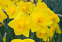 Narcissus Goldfinger daffodils Division 1 spring flowering bulbs awarded an AGM beautiful perfect form with overlapping petals
