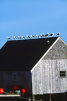 BIRDS<br /> Gulls Lined Up On Rooftop