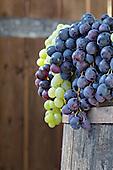 Grapes, La Festa dell'Uva, Impruneta, Italy, Tuscany.