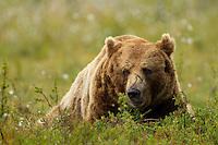 Brown Bear (Ursos arctos), male resting, Finland, July 2012